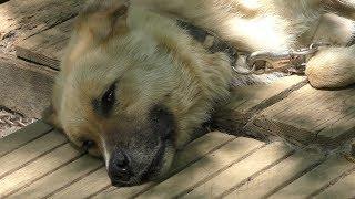 ベンガルトラ の『ティガー』と イヌ の『エルサ』 (ノースサファリサッポロ・デンジャラスの森) 2019年7月9日