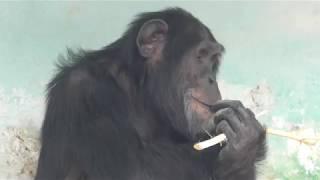 チンパンジー (天王寺動物園) 2017年11月3日