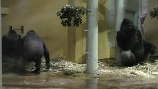 ゴリラ 一家 (京都市動物園) 2019年1月26日