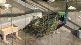 インドクジャク (和歌山城公園 動物園) 2018年12月24日