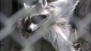 アライグマの『ポンポン』 (八幡山公園 動物舎) 2018年4月30日