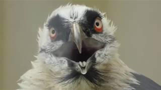 ヒゲワシ の『クリッパー』 (日本平動物園) 2018年8月5日
