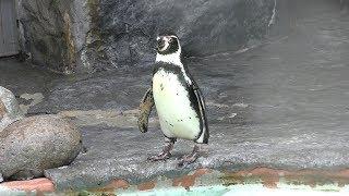 フンボルトペンギン (札幌市 円山動物園) 2019年6月13日