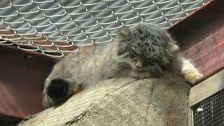 マヌルネコ の『イーリス』 (神戸市立 王子動物園) 2019年9月15日