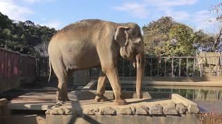 アジアゾウのダンボとシャンティ (日本平動物園) 2017年12月10日