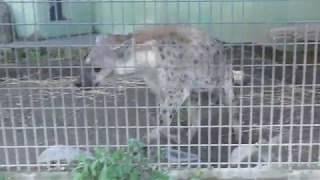 ブチハイエナのセレンとツキ (日本平動物園) 2017年12月10日