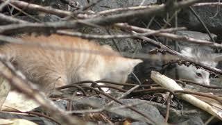 子猫 (北海道虻田郡ニセコ町) 2019年6月15日