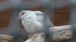ウスユキバト と コールダック (愛宕山公園 動物広場) 2019年11月30日