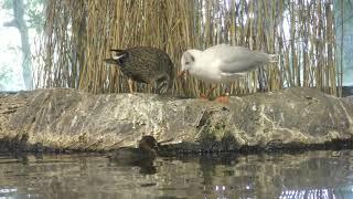 4 水辺の鳥 食事の時間 (琵琶湖博物館 水族展示室) 2019年10月30日