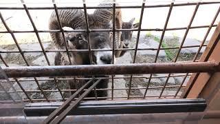 ジャングルバス 1/7「クマ・山岳動物セクション」 (アフリカンサファリ) 2019年12月4日