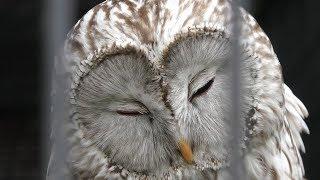 Ural owl japonica (Obihiro Zoo, Hokkaido, Japan) July 6, 2019