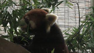 Lesser panda (Yokohama Zoological Gardens [ZOORASIA], Kanagawa, Japan) September 16, 2020