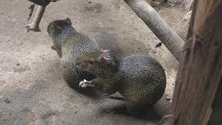 アグーチ と フタユビナマケモノ (伊豆シャボテン動物公園) 2019年10月1日