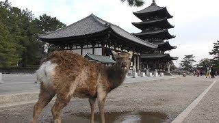 ニホンジカ (奈良県・興福寺) 2019年3月20日
