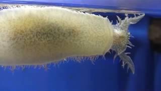 フレリトゲアメフラシ と ミドリアメフラシ (しながわ水族館) 2018年8月23日