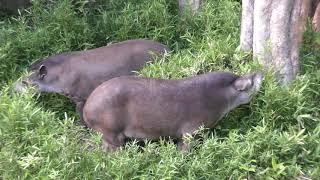 2頭のアメリカバク (上野動物園) 2018年5月12日