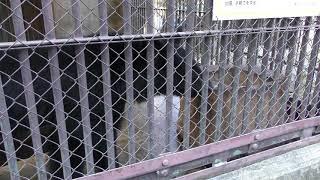 ニホンツキノワグマ (須坂市動物園) 2018年11月3日