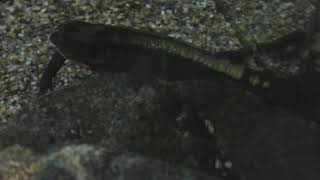 ラオスコブイモリ (かすみがうら市水族館) 2017年12月2日