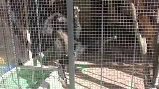 クモザル (大内山動物園) 2018年1月3日