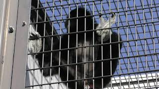 シロテテナガザル (福山市立動物園) 2019年2月25日