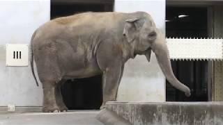アジアゾウの『フー子』 (茶臼山動物園) 2018年4月15日