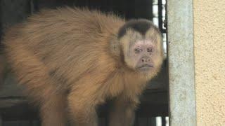 フサオマキザル (東武動物公園) 2020年9月18日