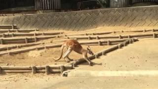 アカカンガルー (多摩動物公園) 2017年8月27日