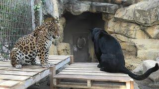 ジャガー の『アトス』と『ネリア』 (神戸市立 王子動物園) 2021年3月23日