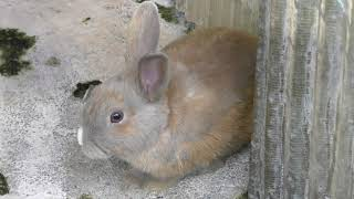 モルモット と ウサギ (さくら公園 こども動物園) 2019年11月3日