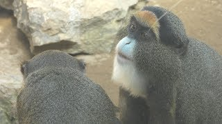 ブラッザモンキー (いしかわ動物園) 2019年8月18日