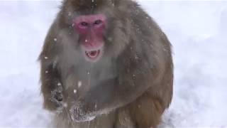 Japanese macaque (Sapporo Maruyama Zoo, Hokkaido, Japan) February 12, 2018