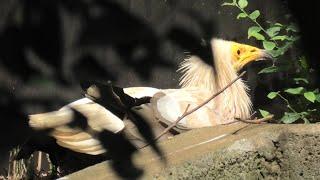 エジプトハゲワシ (千葉市動物公園) 2020年9月17日