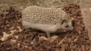 Four-toed hedgehog (MARUMIE PLAZA Animal world, Osaka, Japan) December 18, 2018