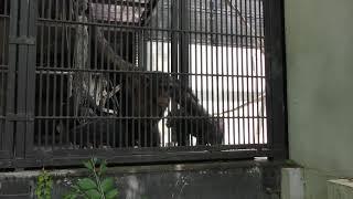 唾を吐くチンパンジー (宇都宮動物園) 2018年4月30日