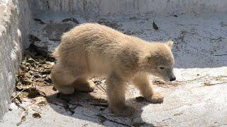 ホッキョクグマ の赤ちゃん『ホウちゃん』 (天王寺動物園) 2021年3月23日