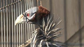 フサホロホロチョウ (天王寺動物園) 2020年12月23日