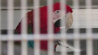 ベニコンゴウインコ の『夢有』 (鞍ケ池公園 動物園) 2019年1月24日