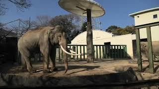 アジアゾウ の『ズゼ』と『マック』 (神戸市立 王子動物園) 2021年3月23日