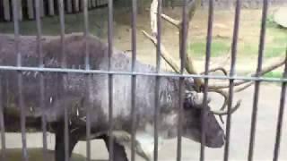 立派な角のトナカイ (多摩動物公園) 2017年8月27日