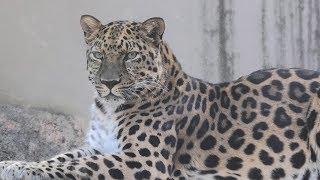 アムールヒョウ の『アニュイ』 (神戸市立王子動物園) 2019年11月8日