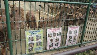 ツシマジカ (福岡市動物園) 2019年4月23日