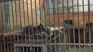 トラ舎のアムールトラ (多摩動物公園) 2017年8月27日