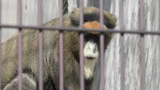 ブラッザモンキー (福山市立動物園) 2019年2月25日