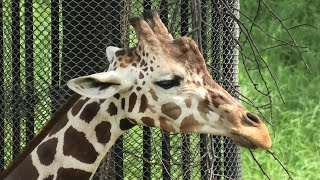 アミメキリン (千葉市動物公園) 2020年9月17日