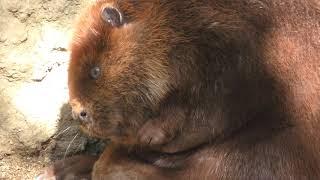 アメリカビーバーの『ゆず』と『やまもも』 (高知県立のいち動物公園) 2018年3月24日