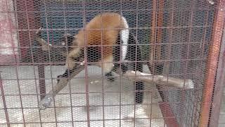 エリマキキツネザル (甲府市遊亀公園付属動物園) 2018年9月23日