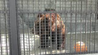 チベットヒグマ の『コジロウ』 (熊本市動植物園) 2019年4月18日