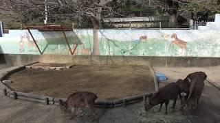 ニホンジカ (和歌山城公園 動物園) 2018年12月24日