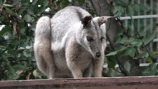 Yellow-footed rock-wallaby (Saitama Children's Zoo, Saitama, Japan) September 15, 2020