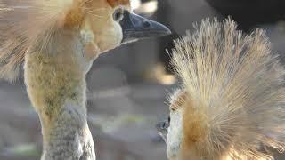 ホオジロカンムリヅルの子供たち (天王寺動物園) 2017年11月3日